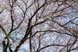 2017桜16