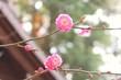 一月に咲く ~梅~2