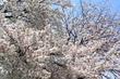 2017桜40