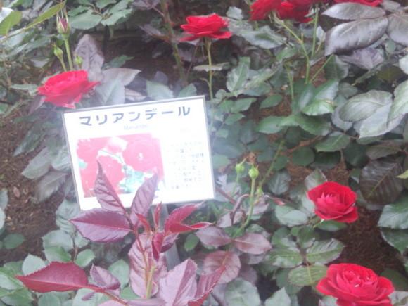 里見ケイシロウの自転車日記 里見公園の薔薇