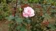 薔薇 フラワーフェスティバル