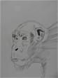 チンパンジー。