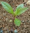 アボガドを食した後の種子から芽がでました