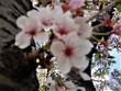 今は、桜散ってるから~