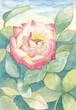 バラ 水彩画