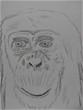 顔面チンパンジー。