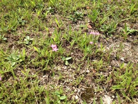 可愛いんだよ~ピンクの小さなお花さん。