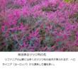 千年巫女の代理人 エリカの花