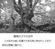 千年巫女の代理人 道端のブナの古木