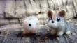 ピグミージェルボアとイリナキウサギ