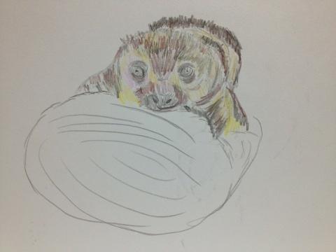 ナマケモノの赤ちゃん。