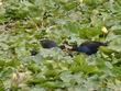 水鳥とヒナ