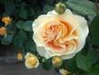 里見ケイシロウの自転車日記 里見公園の薔薇⑤