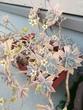 みたび実家の庭の花です。最後でしょうか?