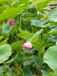 古代蓮の池