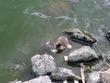 鴨のヒナと亀が餌を分け合ってます(#^^#)