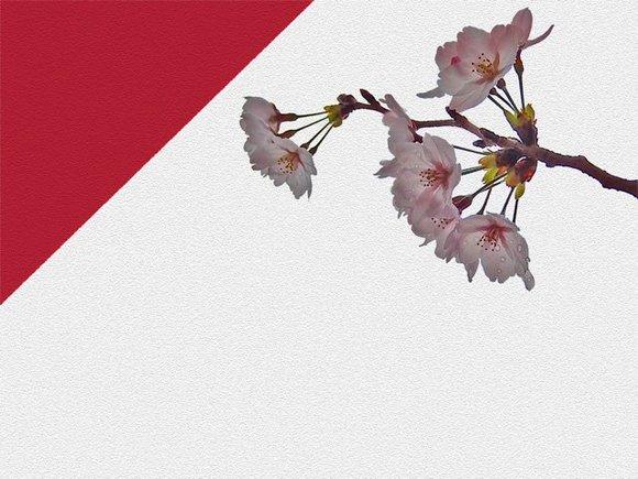 【フリー素材】紅白と桜