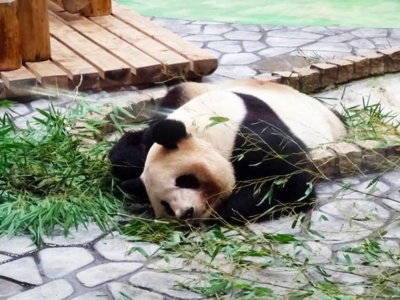 行き倒れパンダ