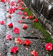 落ちて雨に濡れた椿
