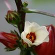 ハイビスカス・ローゼル(Hibiscus roselle)