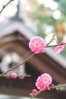 一月に咲く ~梅~1