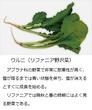 千年巫女の代理人 ウルニ(リファニア野沢菜)