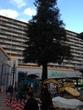 六甲道駅北側広場の木