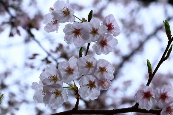 『花散らし雨』