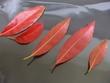 ホルトノキの落葉