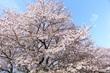 2017桜18