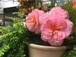 植物公園ピンク