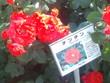 里見ケイシロウの自転車日記 里見公園の薔薇②