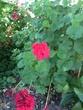 赤いお花さん。