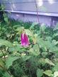 ホタルブクロ4・今年最初の開花