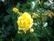 里見ケイシロウの自転車日記 里見公園の薔薇④