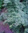モミジの花5