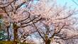 電線混じりの桜