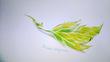 4色限定色鉛筆デッサン16 水菜