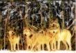 千年巫女の代理人 オオカミの群