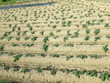 サツマイモ 畑