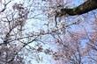 2017桜29