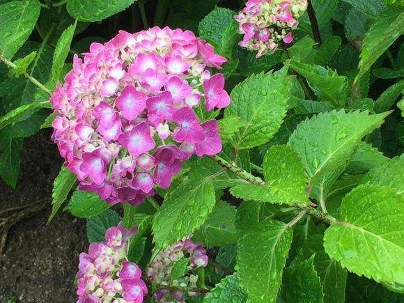 植物公園アジサイ雨