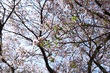 2017桜15