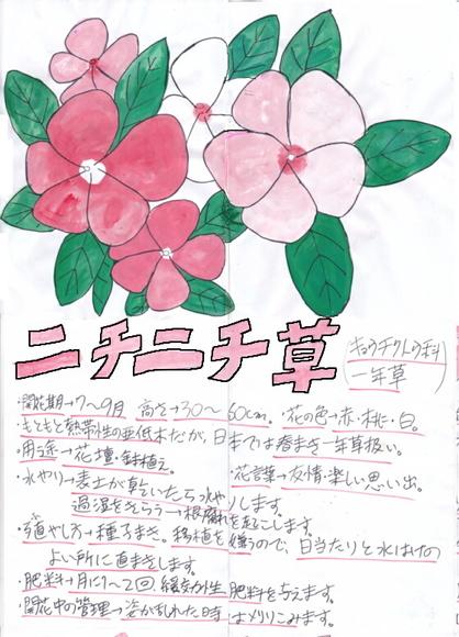 ニチニチ草