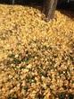 黄色の絨毯。