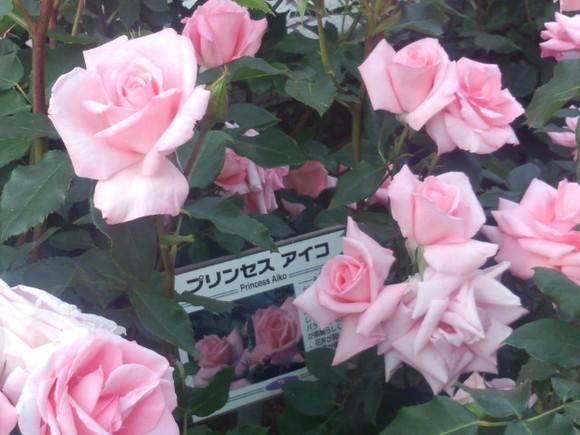 里見ケイシロウの自転車日記 里見公園の薔薇⑥