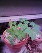 白花ヤマトリカブト