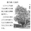 千年巫女の代理人 季節風で傾いた樹木