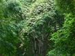 マタタビの木2