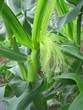 トウモロコシ11 雌花